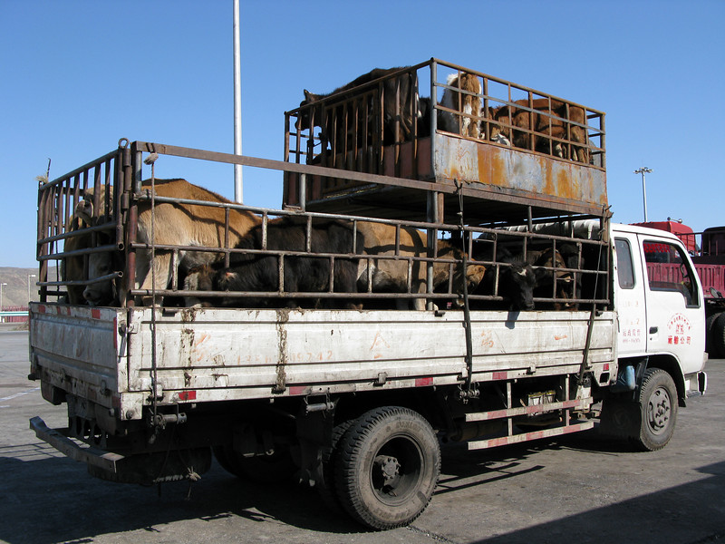 Beef going to Market on the way to Turpan