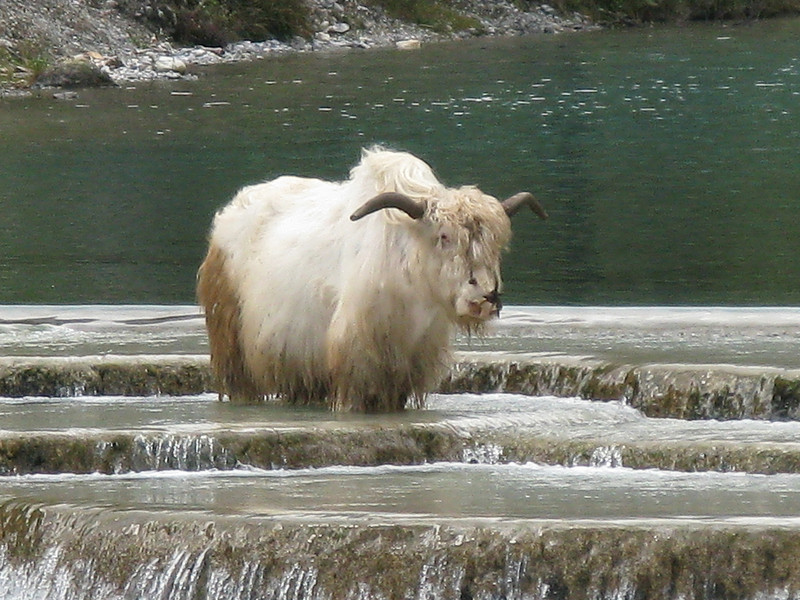 Big White Yak standing in Glacier Water