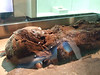 Brown Girl - 3800 year old female Mummy who died at about 40 years of age