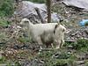 Kazakh Goat