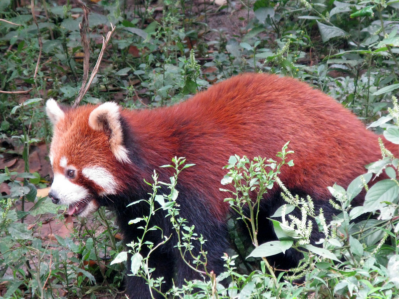 Red Panda at the Chendu Facility