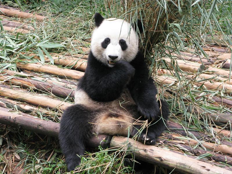 Panda at the Chendu Facility