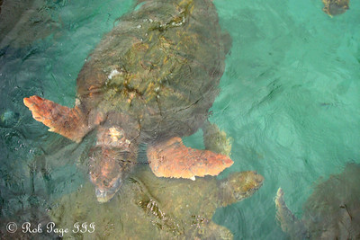A sea turtle - Cartagena, Colombia ... October 17, 2011 ... Photo by Emily Page