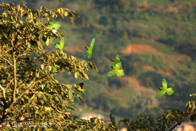 Parrots moving from branch to branch - Medellin, Colombia ... October 20, 2011 ... Photo by Rob Page III