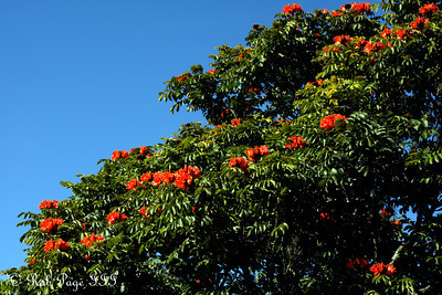 The flowering tropical tree - Medellin, Colombia ... October 21, 2011 ... Photo by Rob Page III