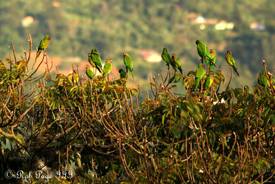 Parrots enjoying the evening - Medellin, Colombia ... October 20, 2011 ... Photo by Rob Page III
