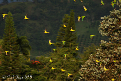 Parrots - Medellin, Colombia ... October 20, 2011 ... Photo by Rob Page III