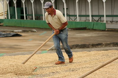 A coffee plantation worker shovels up the beans to be covered for a rain storm.