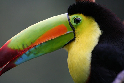 I Love Toucans! You'll see lots of photos of them here.