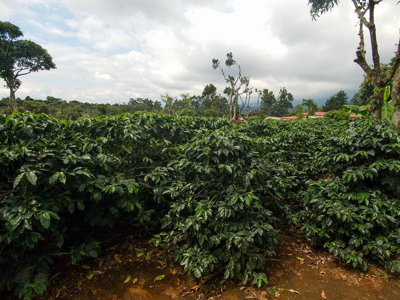 Coffee being grown at the Doka plantation.