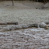 Crocodiles on the bank of the Tarcoles River in Costa Rica.