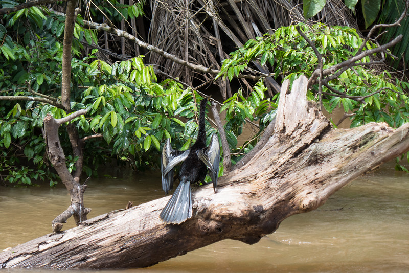 Cormorant drying its wings along the Rio Frio River in the Cano Negro wildlife refuge in Costa Rica.