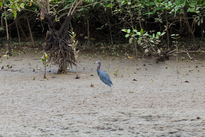 Tricolor Heron on the bank of the Tarcoles River in Costa Rica.