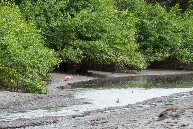 Roseate Spoonbill and Little Blue Herons on the banks of the Tarcoles Rives in Costa Rica.