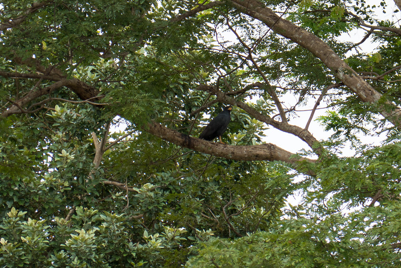 Mangrive Black Hawk in the trees next to the Tarcoles River in Costa Rica.