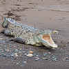 Crocodile on the bank of the Tarcoles River in Costa Rica.