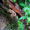 A Viper along the trail in Hanging Bridges Park, Costa Rica.