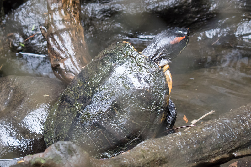 A turtle at the Costa Rica Zooave Rescue Center.