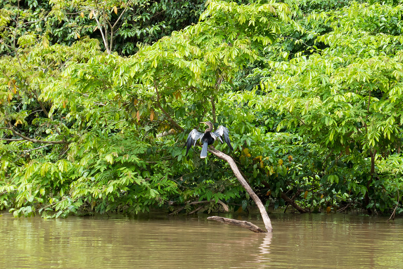 Anhinga drying its wings in the Cano Negro wildlife refuge in Costa Rica.