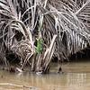 Two Jesus Christ lizards along the Rio Frio River in Costa Rica.