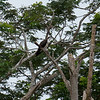Osprey in the trees at the Tarcoles River in Costa Rica.