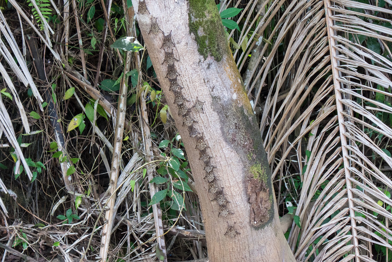 Long Nose Bats along the Rio Frio River in Costa Rica. The wiggle around side to side to make themselves look like a snake as protection from predators.