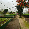 Nursery at the Doka plantation where bait plants are started.  Bait plants are used to attract insects which would otherwise feed on the coffee plants.