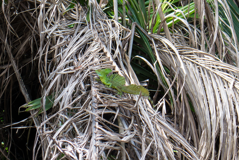 Green Basiliscus plumifrons Lizard along the Rio Frio River, Costa Rico.
