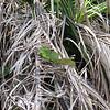 Green Basiliscus plumifrons Lizard along the Rio Frio River, Costa Rico.