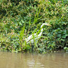 Great Egret in the Cano Negro wildlife refuge in Costa Rica.