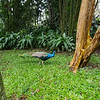 A Peacock at the Zooave Costa Rican Animal Rescue Center.