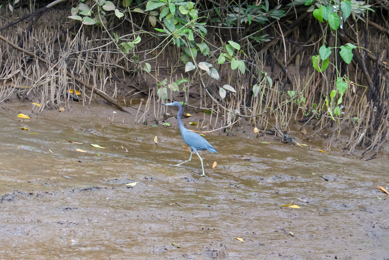 Little Blue Heron on the bank of the Tarcoles River in Costa Rica.