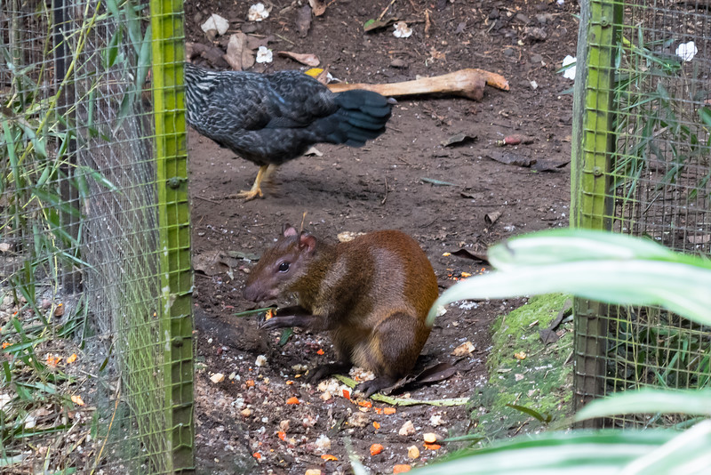 An Agouti at the Zooave Rescue Center in Costa Rica.