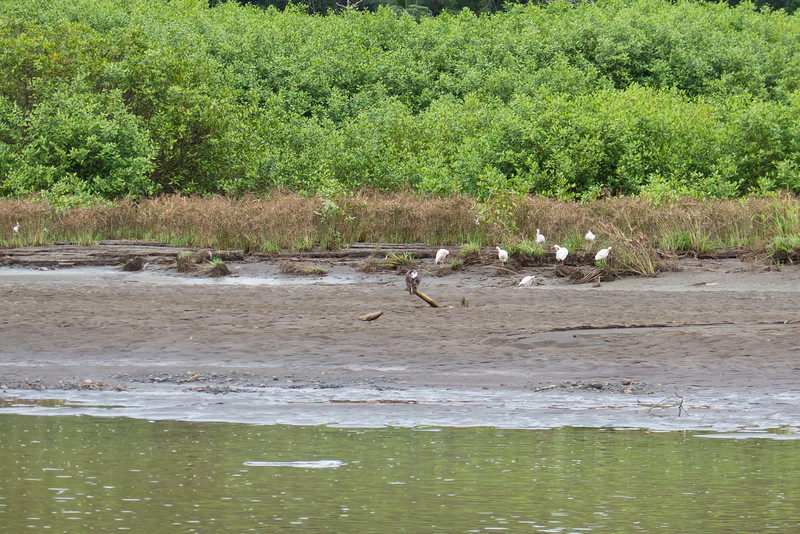 Cattle Egrets at the side of the Tarcoles River in Costa Rica.