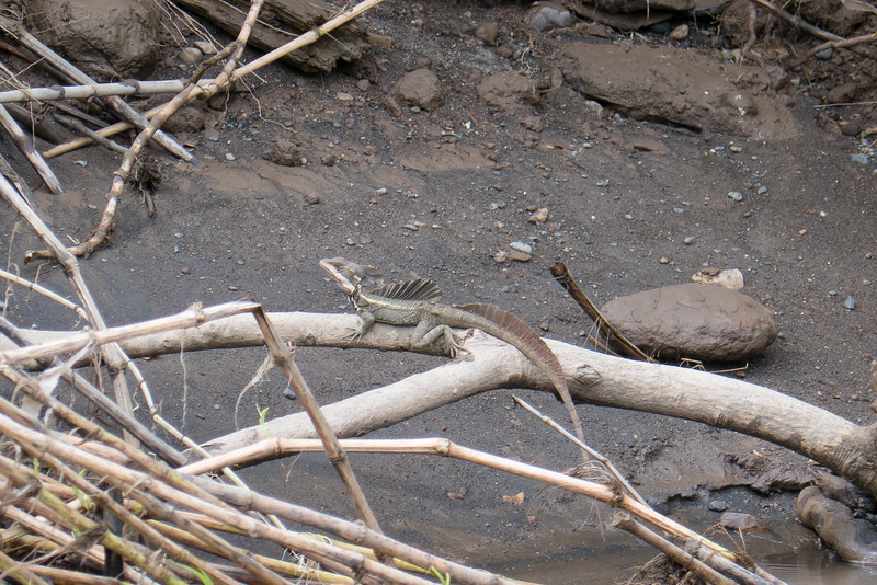 A Basiliscus plumifrons lizard on the bank of the Tarcoles River in Costa Rica.