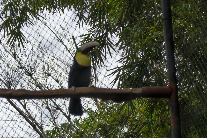 Toucan with an artificial upper beak at the Zooave Rescue Center in Costa Rica.