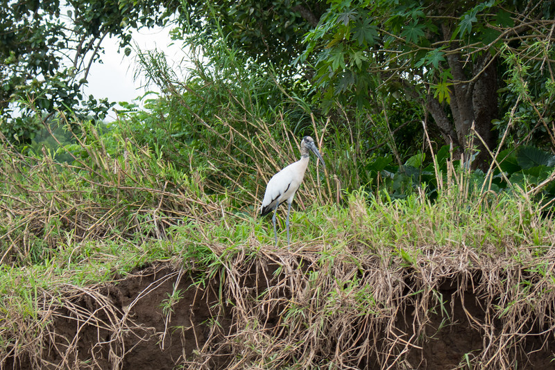 White Wood Stork at the Tarcoles River in Costa Rica.