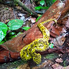 A Yellow Viper in Hanging Bridges Park in Costa Rica.