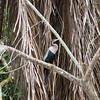 Anhinga in the tree inside the Cano Negro wildlife refuge in Costa Rica.