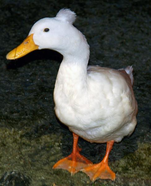 Mohawk Duck!