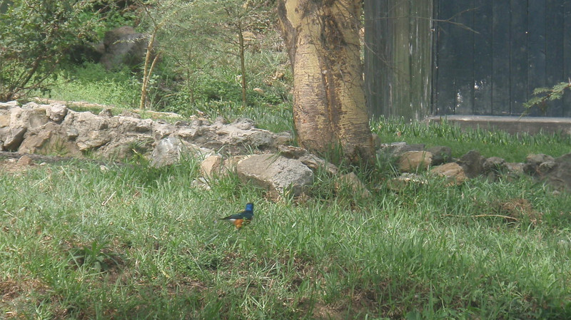 Superb Starling, what a colorful bird!