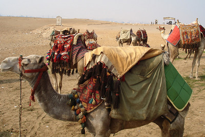 Camels relaxing in the sun on Giza plateau - Giza, Egypt ... November 20, 2006 ... Photo by Emily Conger