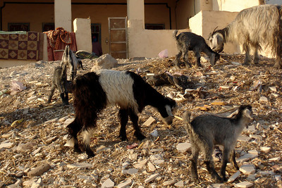 Goats enjoying their evening meal - Gurna, Egypt ... November 23, 2006 ... Photo by Emily Conger