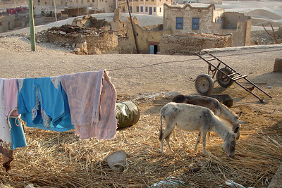 Goats - Gurna, Egypt ... November 23, 2006 ... Photo by Emily Conger
