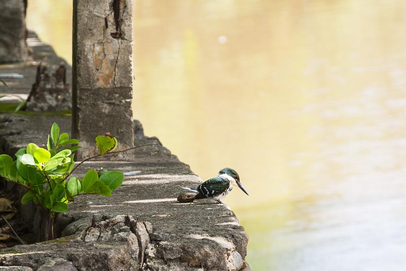 Green Kingfisher, El Salvador, July 2018