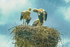 Storks (Good Luck) nesting in Vidin, Bulgaria.