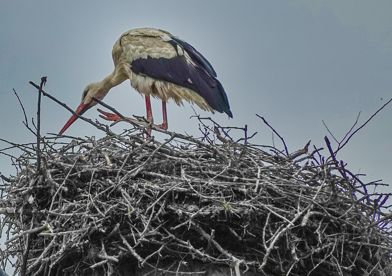 Storks are considered a blessing of good fortune should they roost on or around your home.