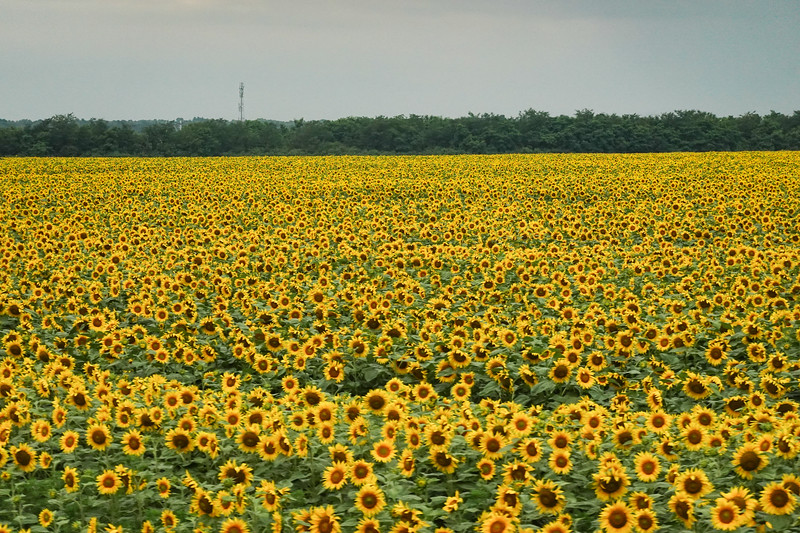 Throughout Romania there are enormous fields of sunflowers. The local joke is; Iif you find a pile of sunflower shells on the ground there must be a Romanian around somewhere.