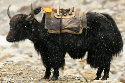 A yak on the way to Everest Base Camp - Qomolangma National Nature Preserve, Tibet, China ... May 26, 2014 ... Photo by Rob Page III