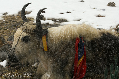 A yak at a pass on the way from Tingri to Nepal - Tibet, China ... May 27, 2014 ... Photo by Rob Page III